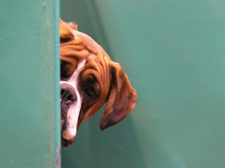 QUIZ: Identify the popular dog breeds