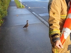 Watch firefighters rescue trapped ducklings