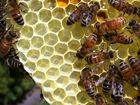 BBQ's at risk due to dying bee colonies