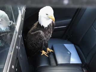 Bald eagle rescued by Florida trooper