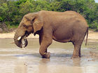 Wounded elephant falls on, kills big game hunter