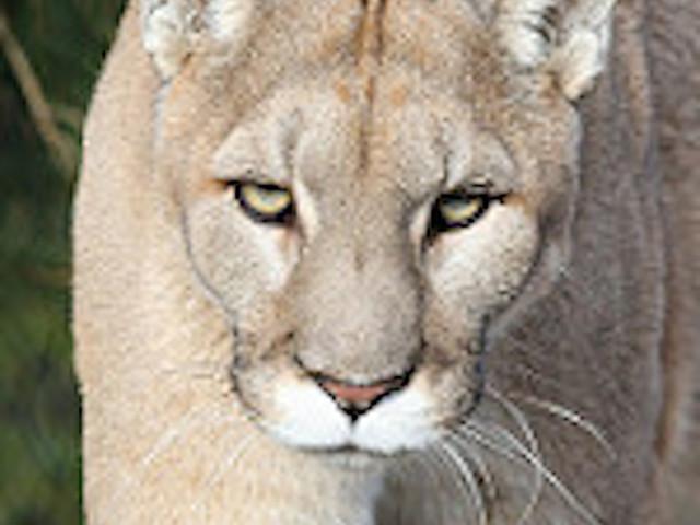 Red deer cougar